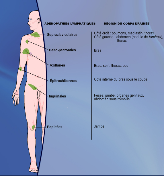 quels organes à gauche du corps